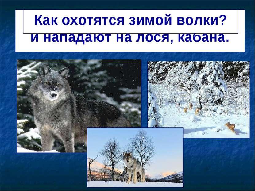 Волки зимой охотятся стаями и нападают на лося, кабана. Как охотятся зимой во...