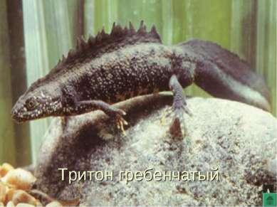 Тритон гребенчатый