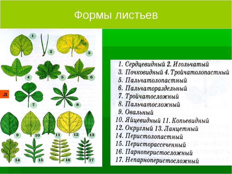 Формы листьев