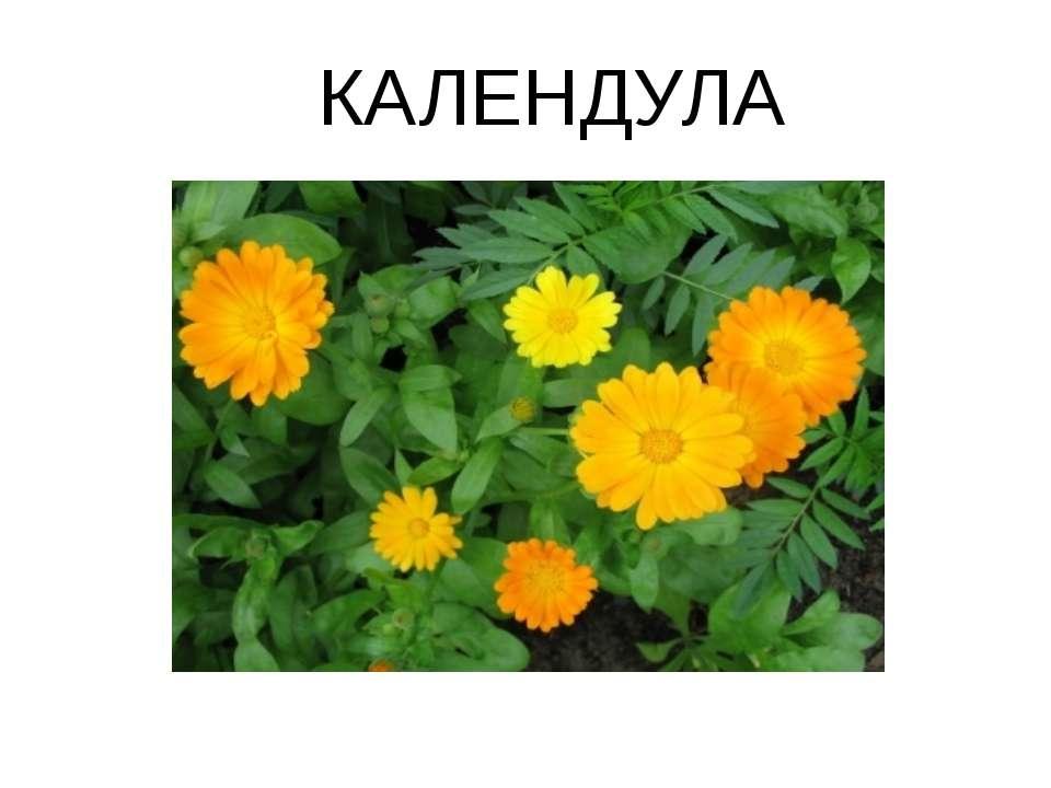 КАЛЕНДУЛА