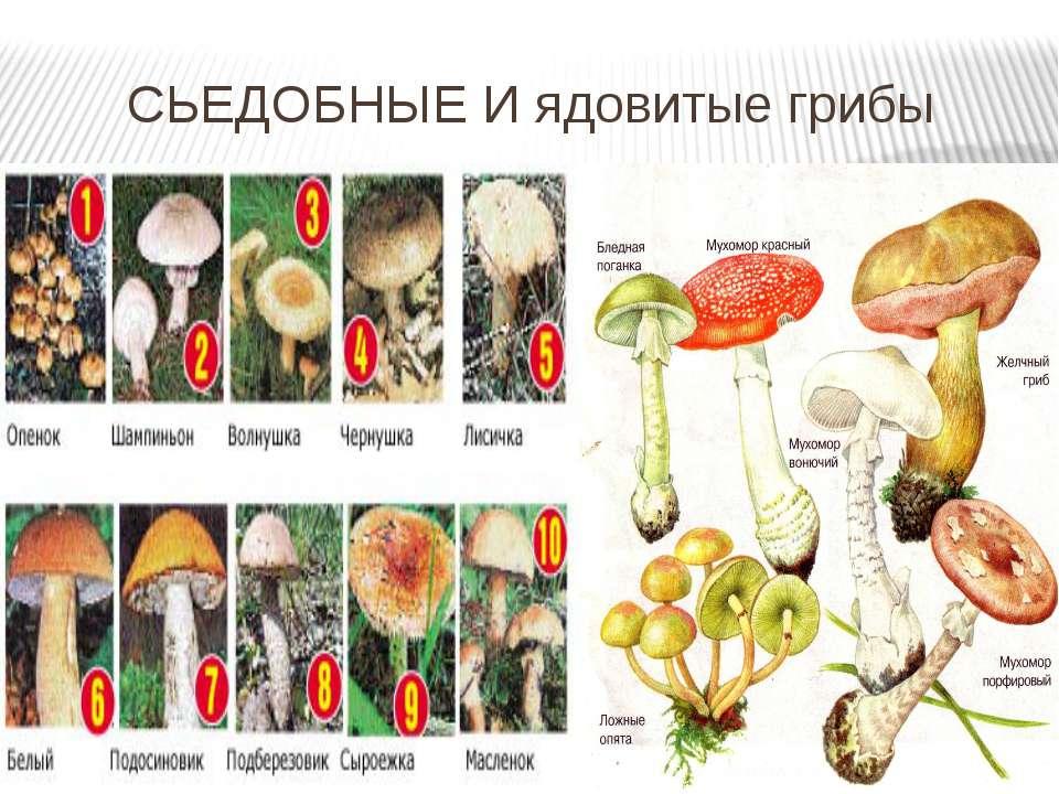 СЬЕДОБНЫЕ И ядовитые грибы