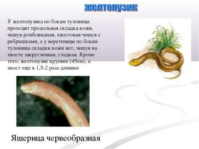 У желтопузика по бокам туловища проходит продольная складка кожи, чешуя ромбо...