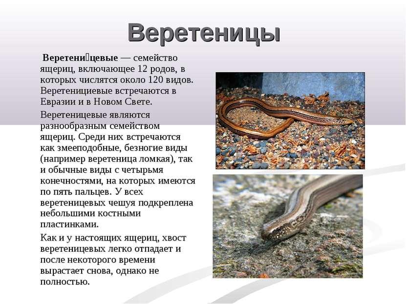Веретеницы Веретени цевые — семейство ящериц, включающее 12 родов, в которых ...