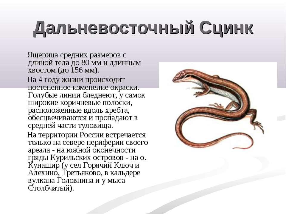 Дальневосточный Сцинк Ящерица средних размеров с длиной тела до 80 мм и длинн...