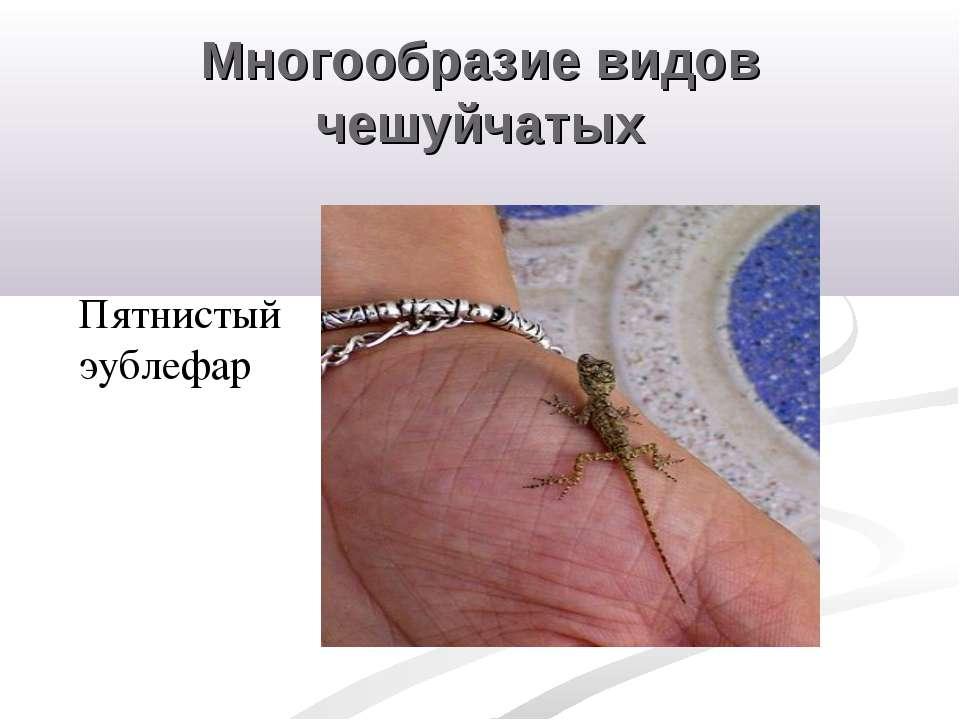 Многообразие видов чешуйчатых Пятнистый эублефар