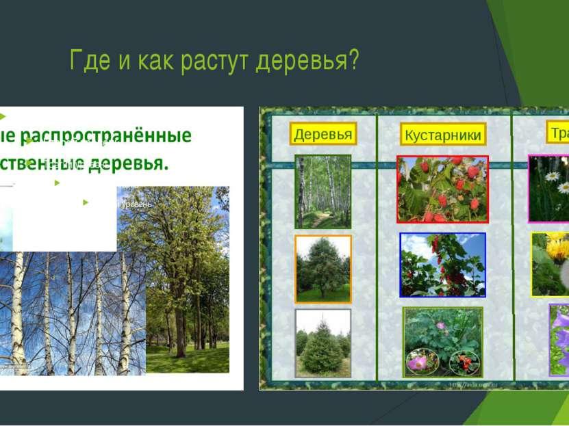 Где и как растут деревья?