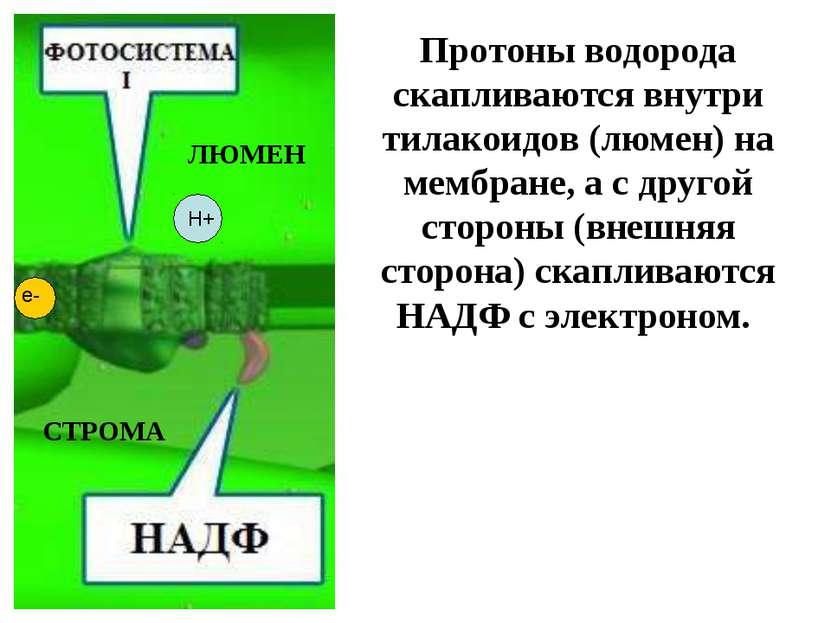 Протоны водорода скапливаются внутри тилакоидов (люмен) на мембране, а с друг...