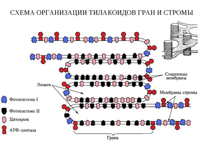СХЕМА ОРГАНИЗАЦИИ ТИЛАКОИДОВ ГРАН И СТРОМЫ