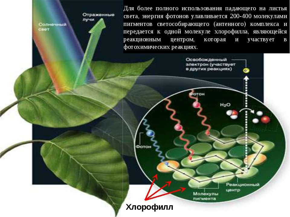 Хлорофилл Для более полного использования падающего на листья света, энергия ...