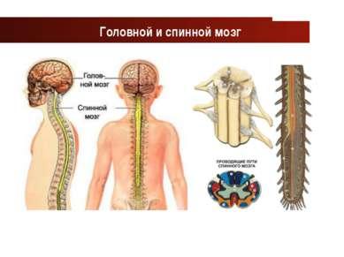 www.themegallery.com Company Logo Головной и спинной мозг Company Logo