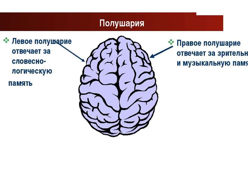 www.themegallery.com Company Logo Полушария Левое полушарие отвечает за слове...