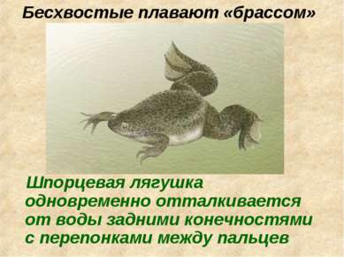 Бесхвостые плавают «брассом» Шпорцевая лягушка одновременно отталкивается от ...