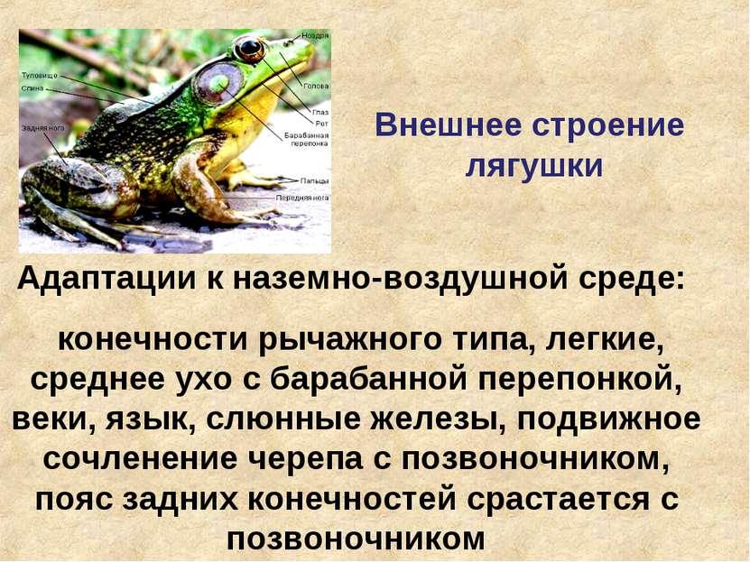 Внешнее строение лягушки Адаптации к наземно-воздушной среде: конечности рыча...