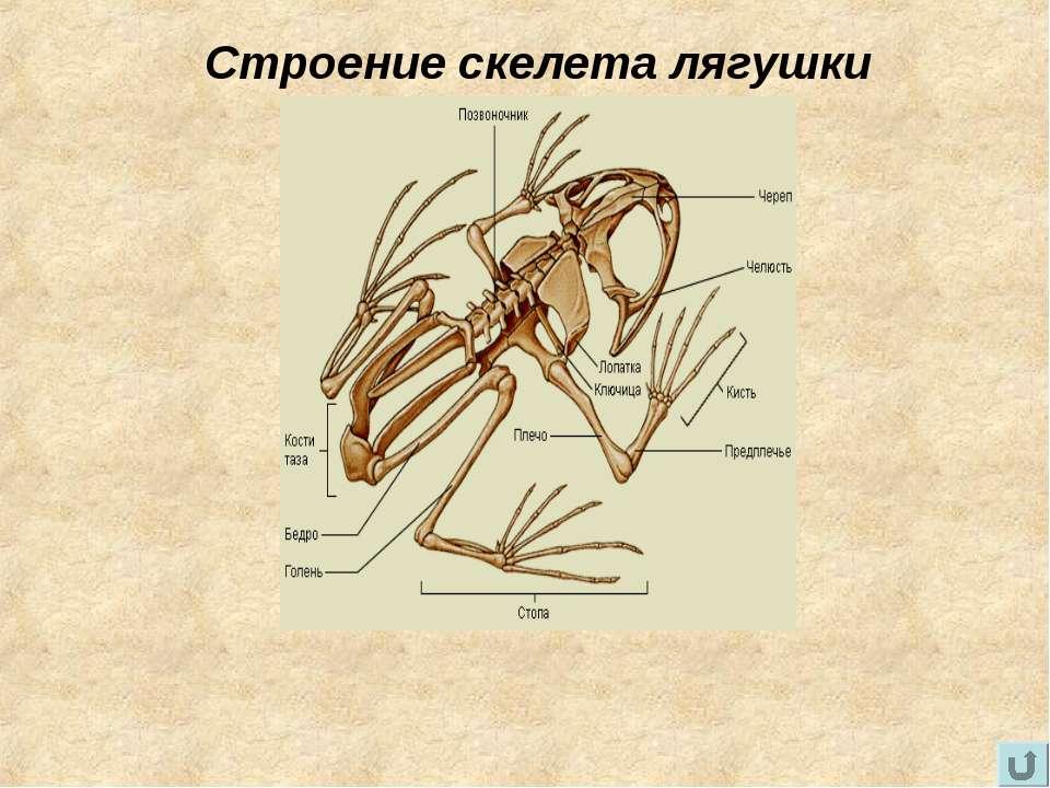 Строение скелета лягушки