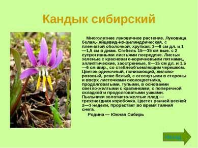 Кандык сибирский Многолетнее луковичное растение. Луковица белая,- яйцевид но...