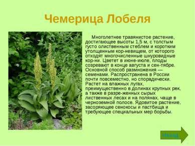 Чемерица Лобеля Многолетнее травянистое растение, достигающее высоты 1,5 м, с...