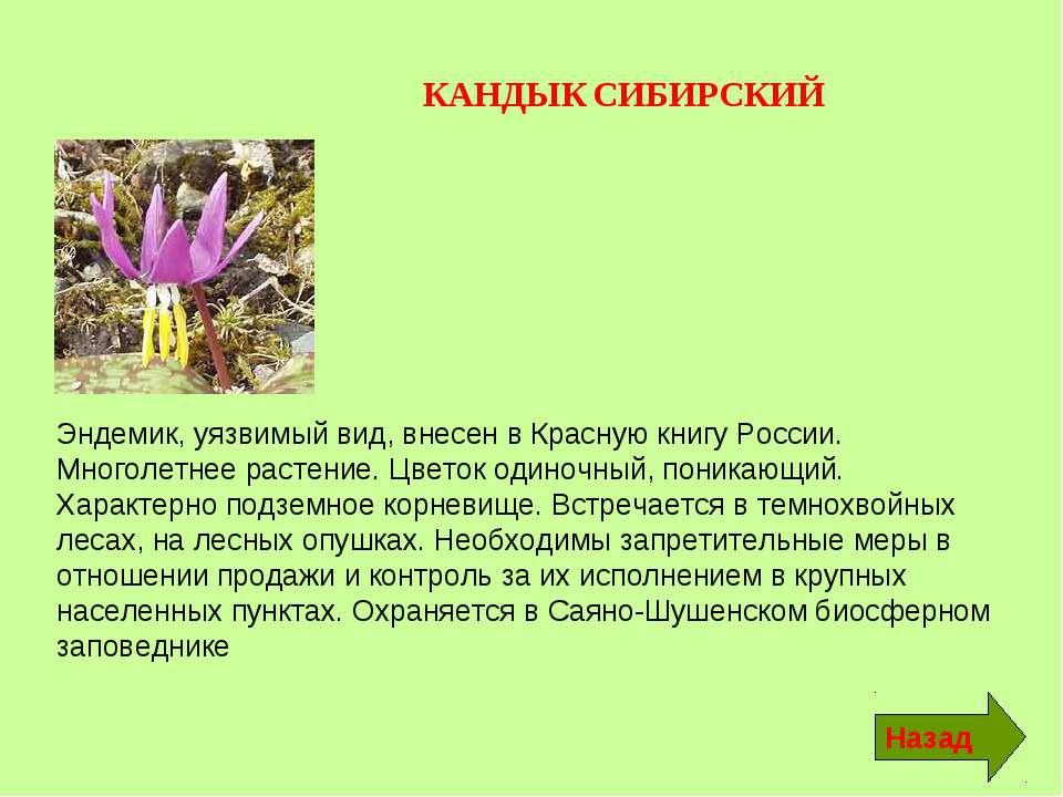 КАНДЫК СИБИРСКИЙ Эндемик, уязвимый вид, внесен в Красную книгу России. Многол...