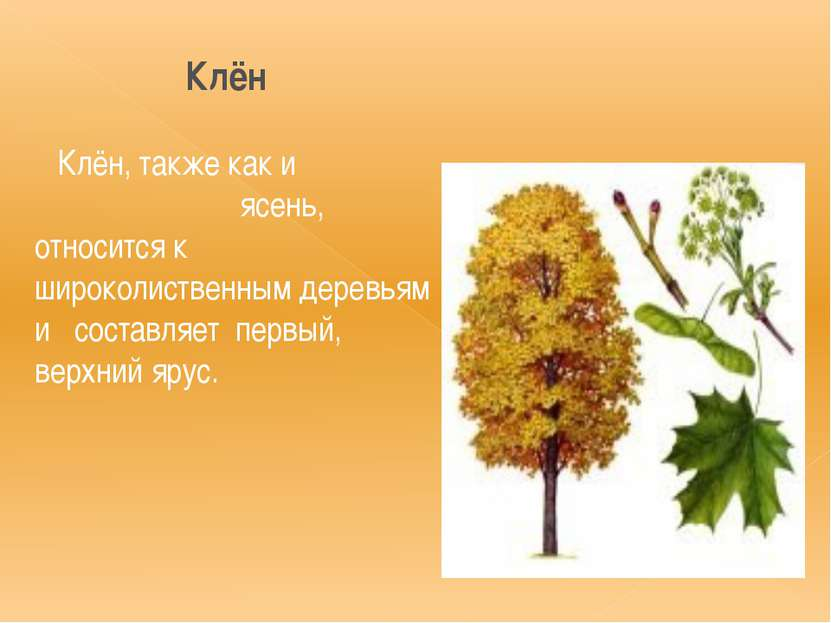 Клён Клён, также как и ясень, относится к широколиственным деревьям и составл...