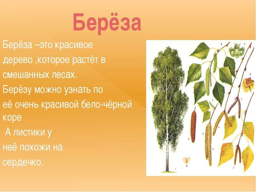 Берёза Берёза –это красивое дерево ,которое растёт в смешанных лесах. Берёзу ...