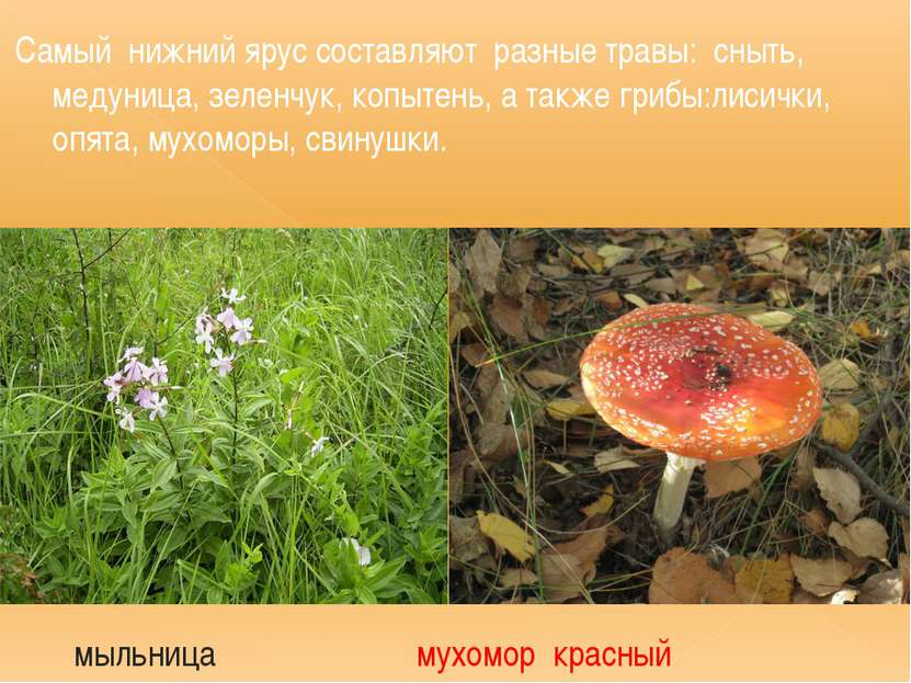 Самый нижний ярус составляют разные травы: сныть, медуница, зеленчук, копытен...
