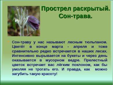 Прострел раскрытый. Сон-трава. Сон-траву у нас называют лесным тюльпаном. Цве...