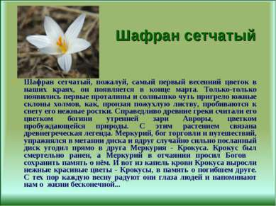 Шафран сетчатый Шафран сетчатый, пожалуй, самый первый весенний цветок в наши...