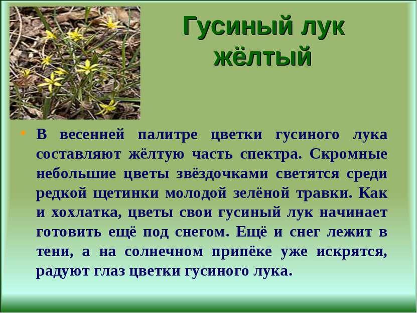 Гусиный лук жёлтый В весенней палитре цветки гусиного лука составляют жёлтую ...