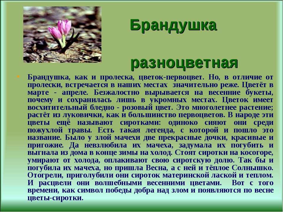 Брандушка разноцветная Брандушка, как и пролеска, цветок-первоцвет. Но, в отл...