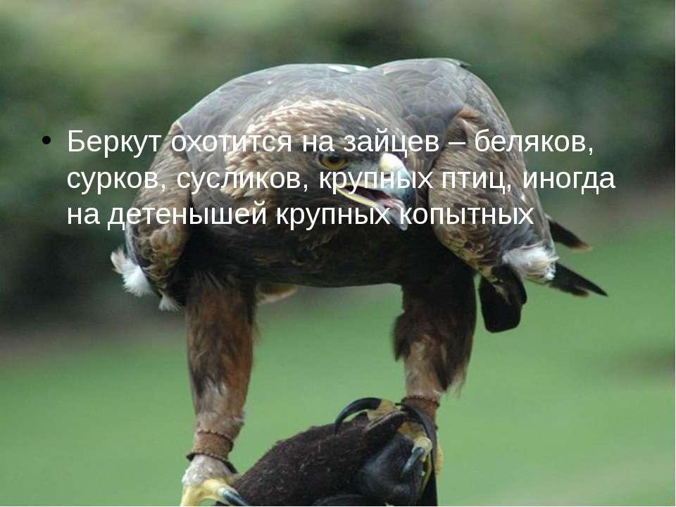 Беркут охотится на зайцев – беляков, сурков, сусликов, крупных птиц, иногда н...
