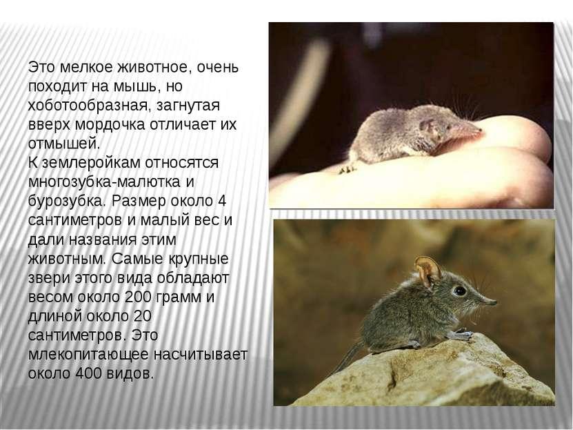 Это мелкое животное, очень походит на мышь, но хоботообразная, загнутая вверх...