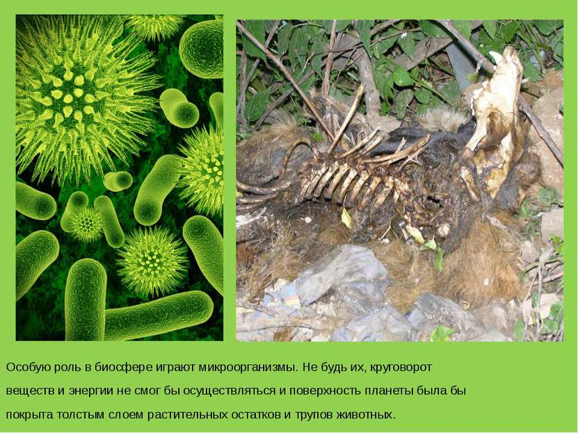 Особую роль в биосфере играют микроорганизмы. Не будь их, круговорот веществ ...