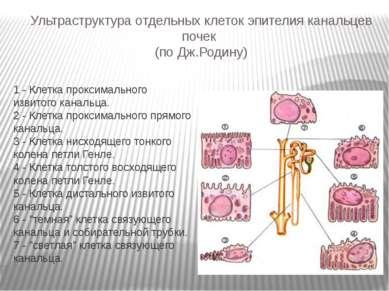 Ультраструктура отдельных клеток эпителия канальцев почек (по Дж.Родину) 1 - ...