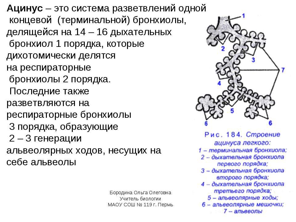 Ацинус – это система разветвлений одной концевой (терминальной) бронхиолы, де...