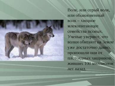 Волк, или серый волк, или обыкновенный волк – хищное млекопитающее семейства ...