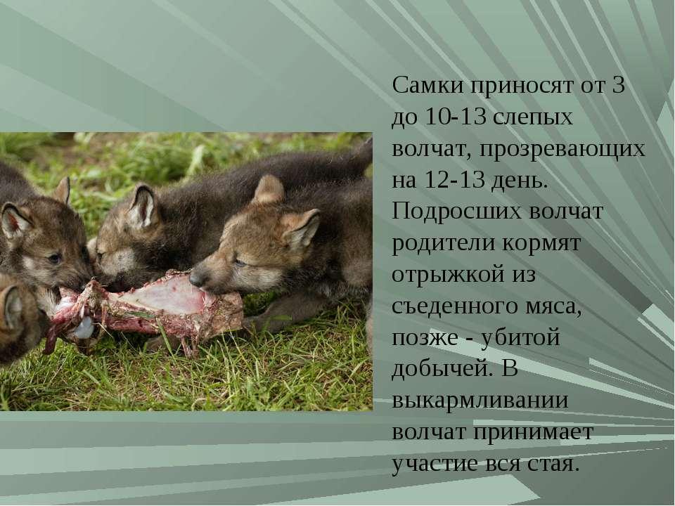 Самки приносят от 3 до 10-13 слепых волчат, прозревающих на 12-13 день. Подро...