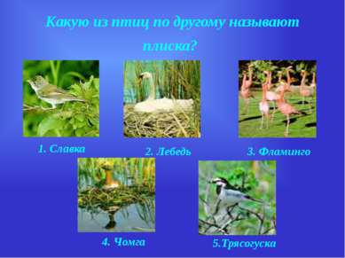 Какую из птиц по другому называют плиска? 1. Славка 2. Лебедь 3. Фламинго 4. ...