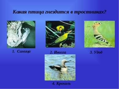 Какая птица гнездится в тростниках? 1. Синица 2. Иволга 3. Удод 4. Крохаль