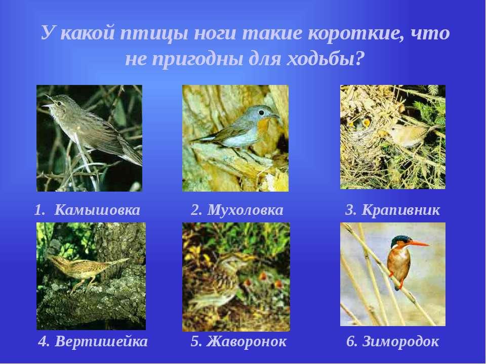У какой птицы ноги такие короткие, что не пригодны для ходьбы? 1. Камышовка 2...