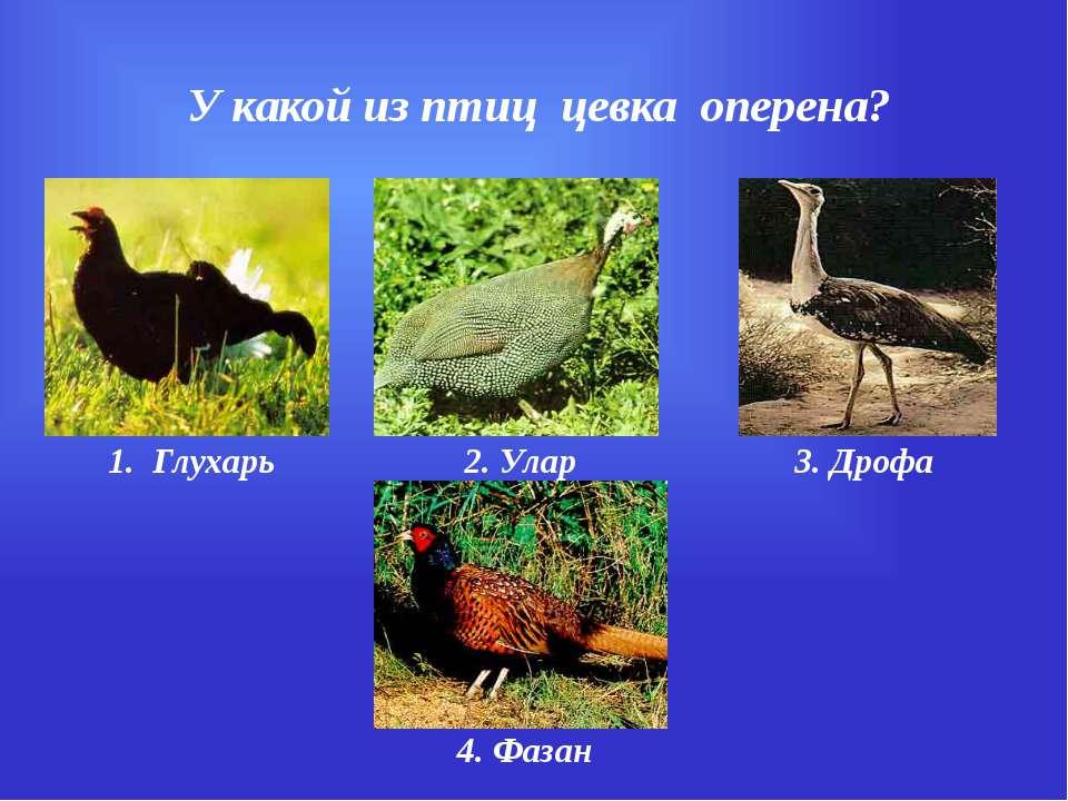 У какой из птиц цевка оперена? 1. Глухарь 2. Улар 3. Дрофа 4. Фазан