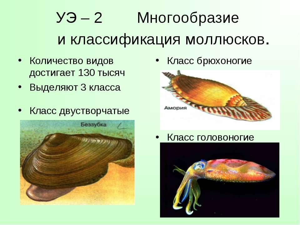 УЭ – 2 Многообразие и классификация моллюсков. Количество видов достигает 130...