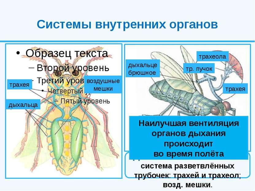 Системы внутренних органов Дыхательная система система разветвлённых трубочек...