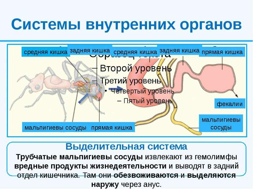 Системы внутренних органов Выделительная система Трубчатые мальпигиевы сосуды...