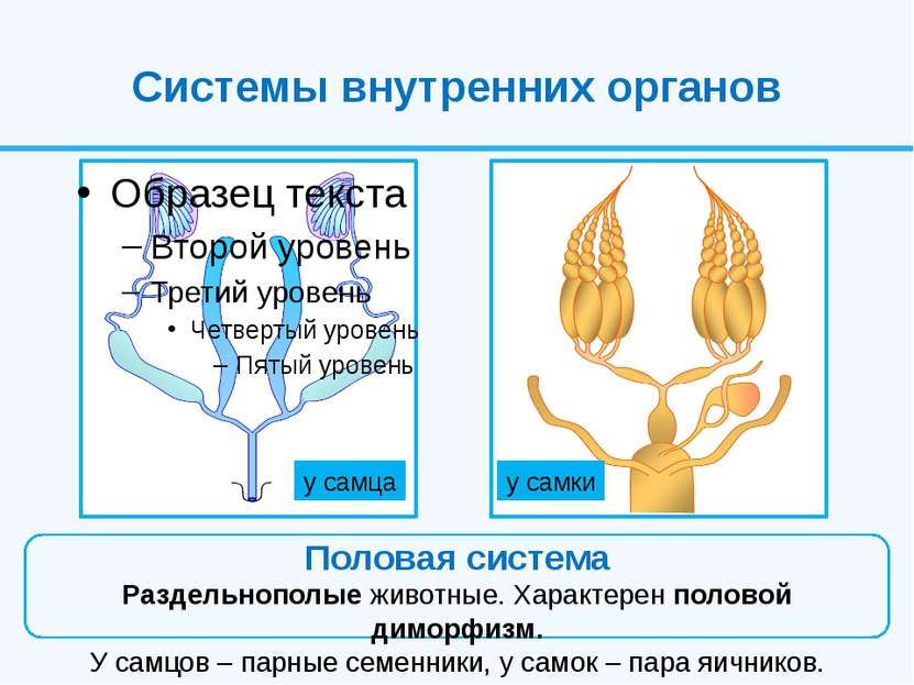 Системы внутренних органов Половая система Раздельнополые животные. Характере...