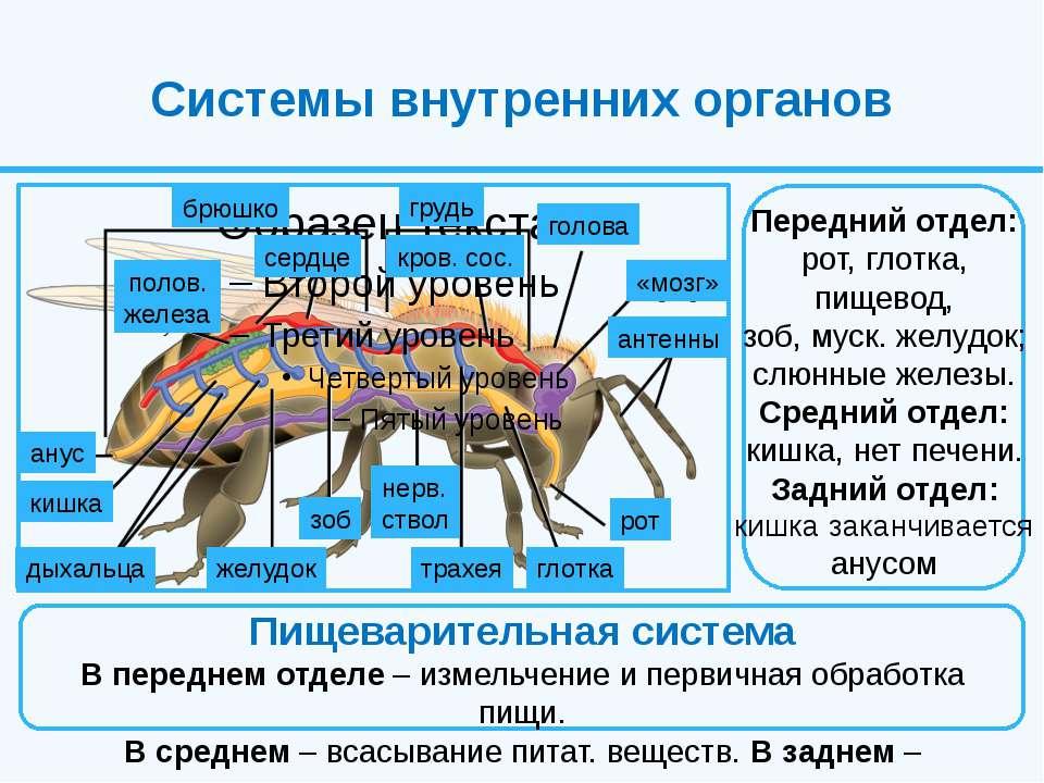 Системы внутренних органов Передний отдел: рот, глотка, пищевод, зоб, муск. ж...