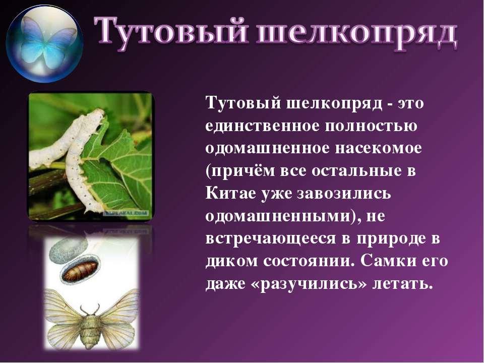 Тутовый шелкопряд- это единственное полностью одомашненное насекомое (причём...