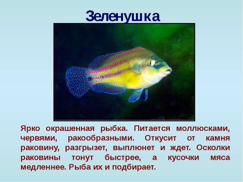 Зеленушка Ярко окрашенная рыбка. Питается моллюсками, червями, ракообразными....