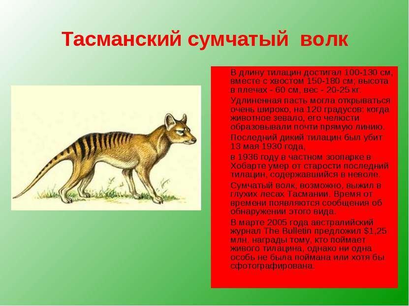 Тасманский сумчатый волк В длину тилацин достигал 100-130 см, вместе с хвосто...