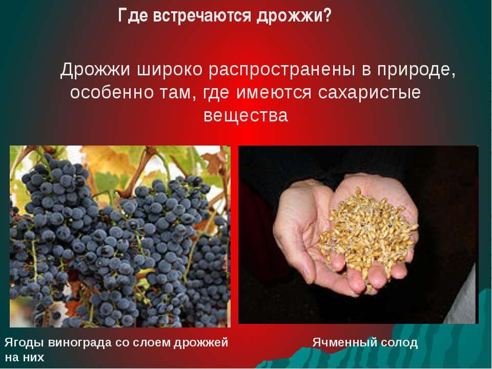 Дрожжи широко распространены в природе, особенно там, где имеются сахаристые ...