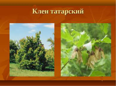 Клен татарский