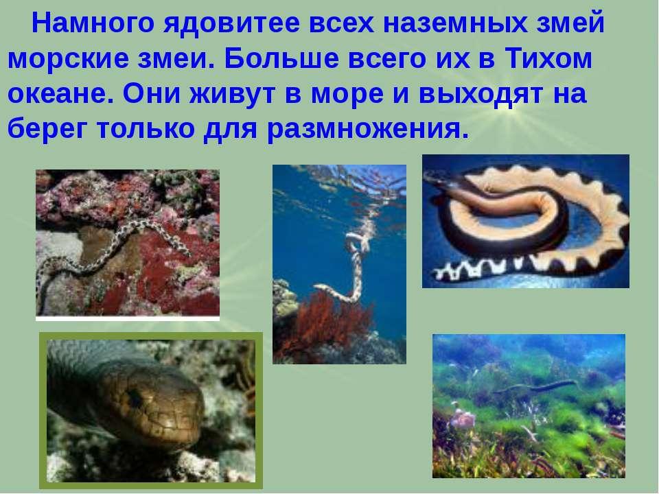 Намного ядовитее всех наземных змей морские змеи. Больше всего их в Тихом оке...